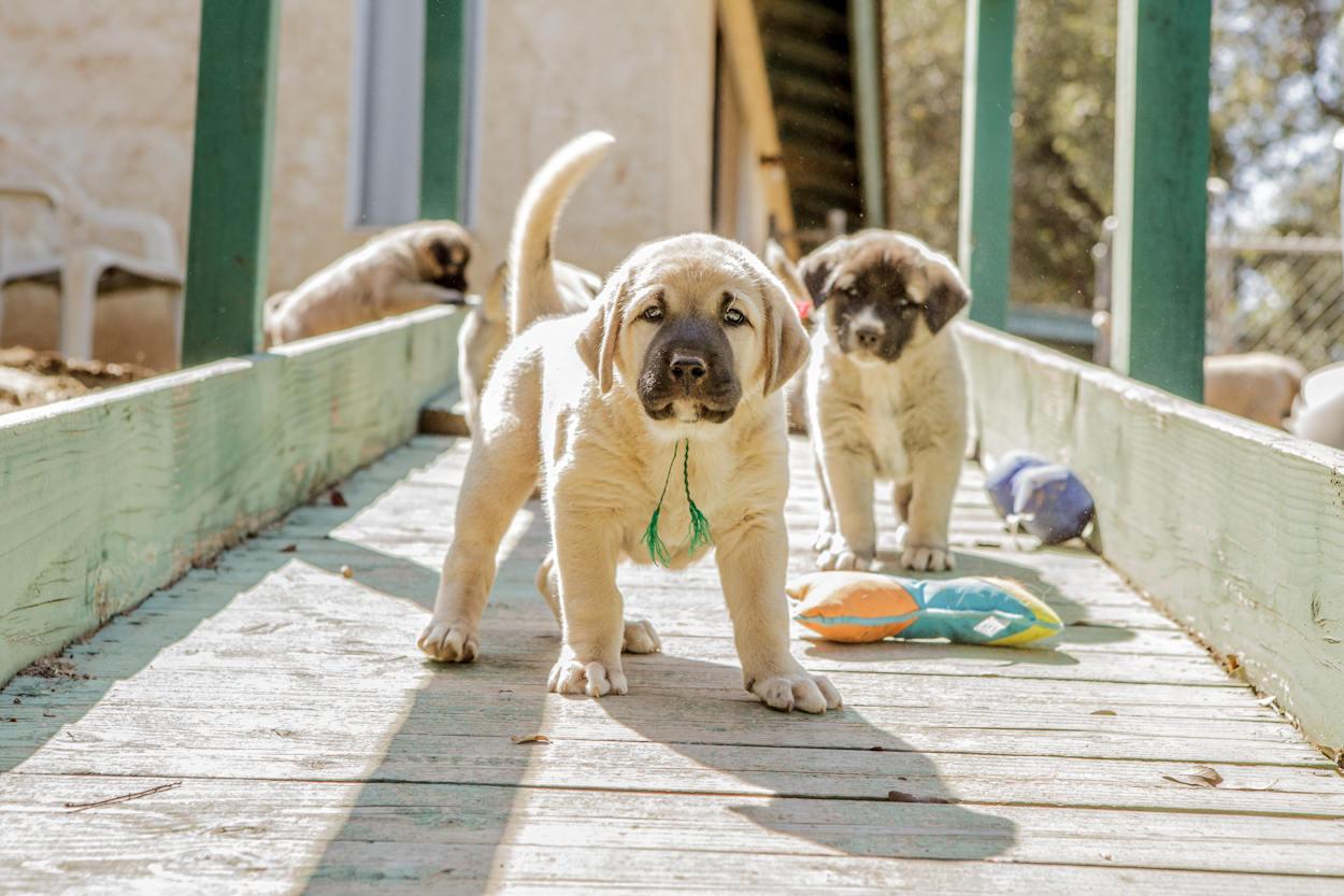 Anatolian Shepherd Dog Diet Pictures Breeding Facts