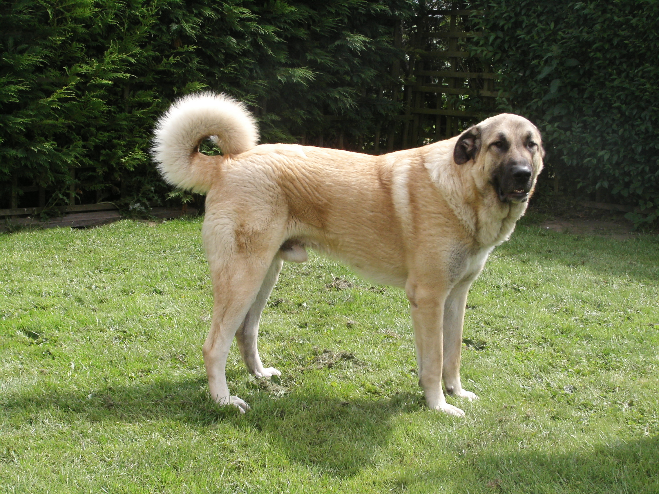 Anatolian Shepherd Dog - Diet, Pictures, Breeding, Facts ...