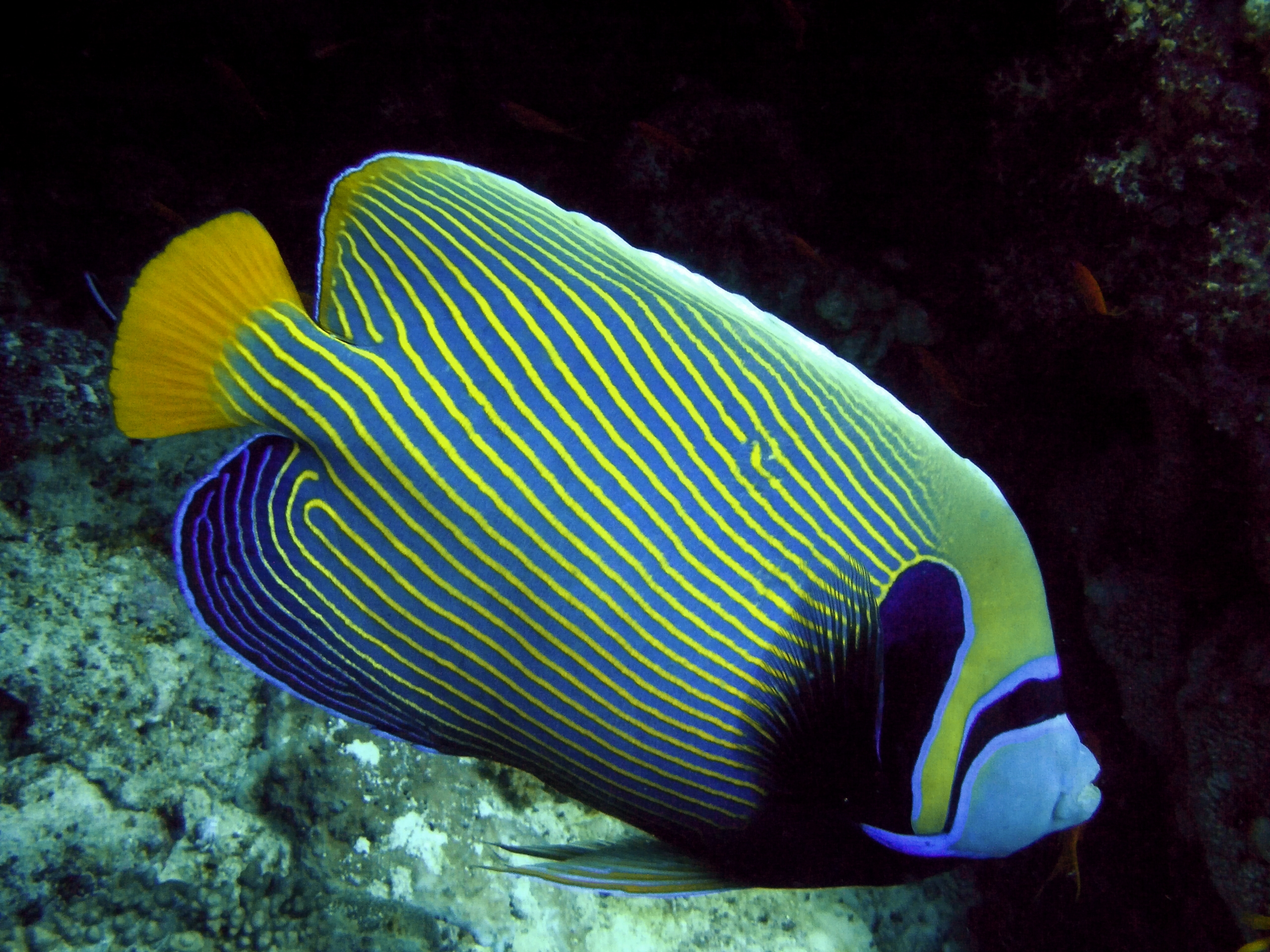 Do Angelfish Eat Other Fish - Images Lobster and Fish