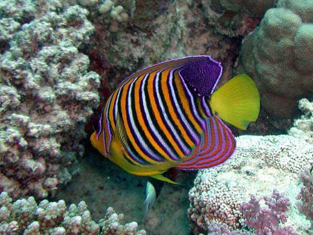 Angelfish Habitat | Angelfish Diet Breeding Facts Pictures Habitat Behaviour