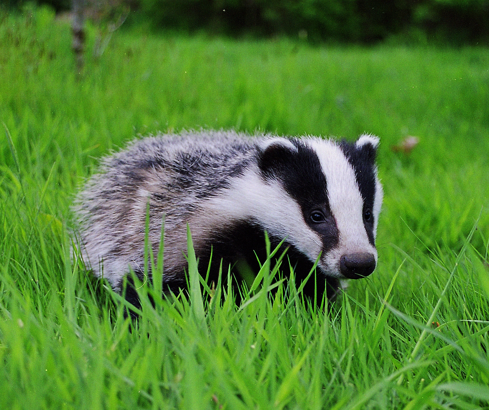 Badger on Life Cycles Of Animals