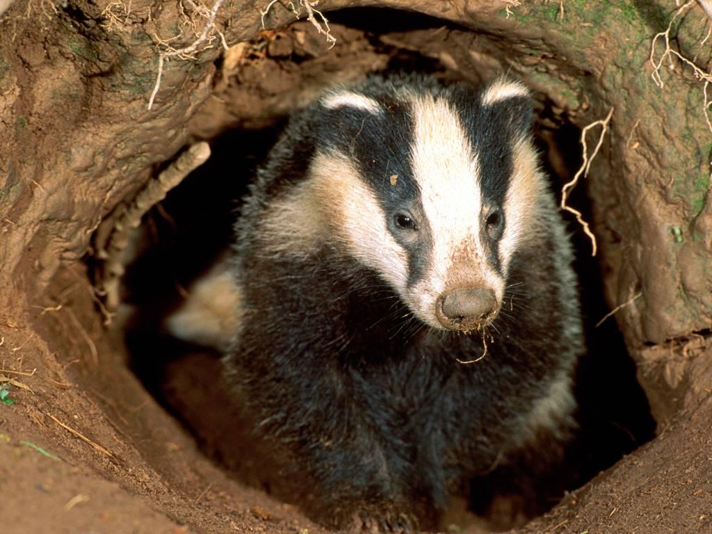 Honey badger (animal): description, photo and habitat 100