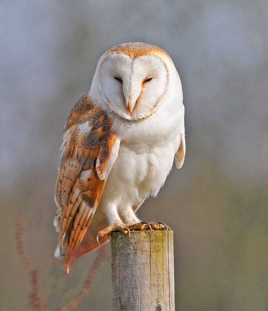 Barn Owl - Facts, Pict...
