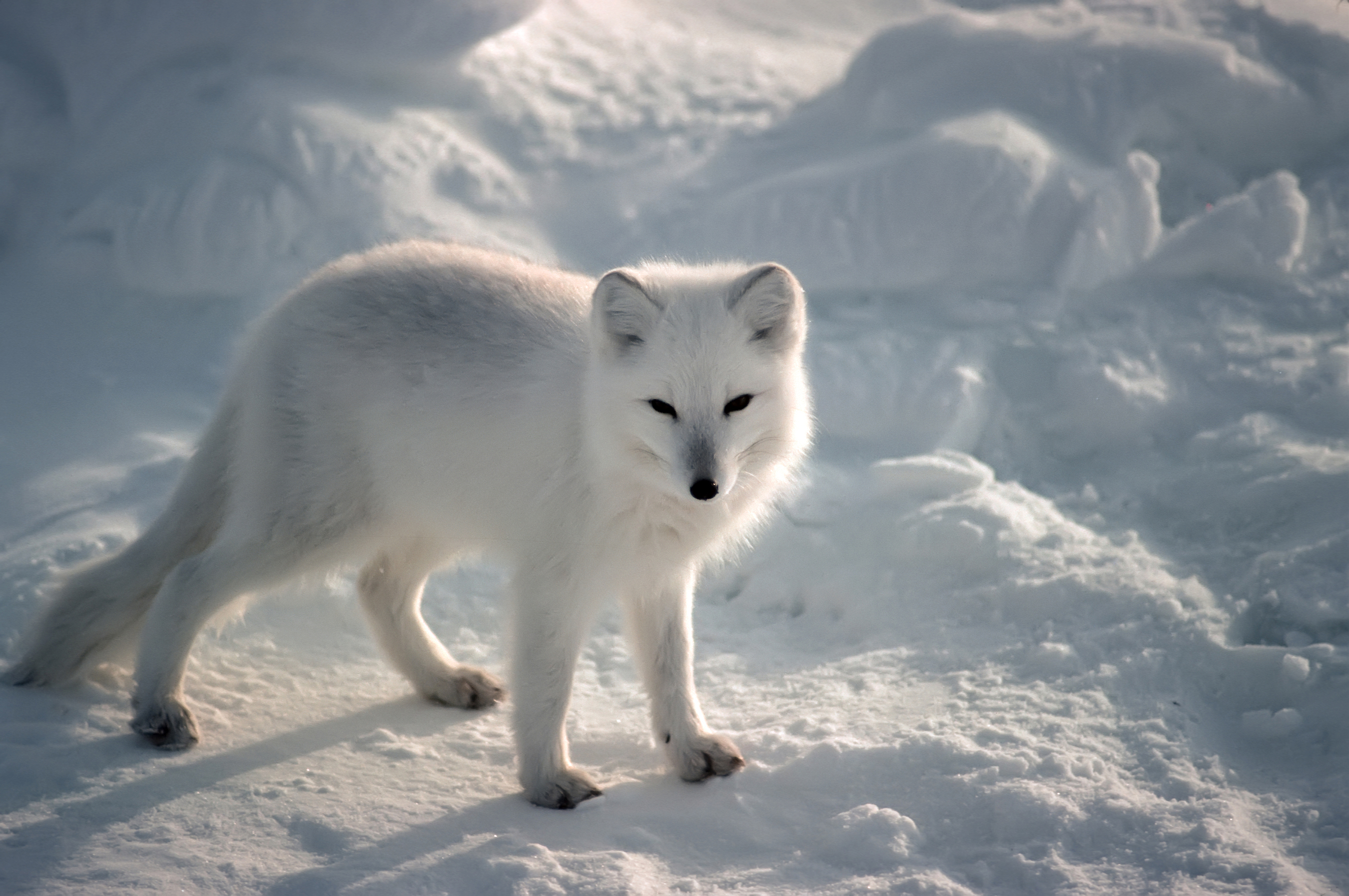 Arctic Fox - Pictures, Diet, Breeding, Life Cycle, Facts, Habitat ...