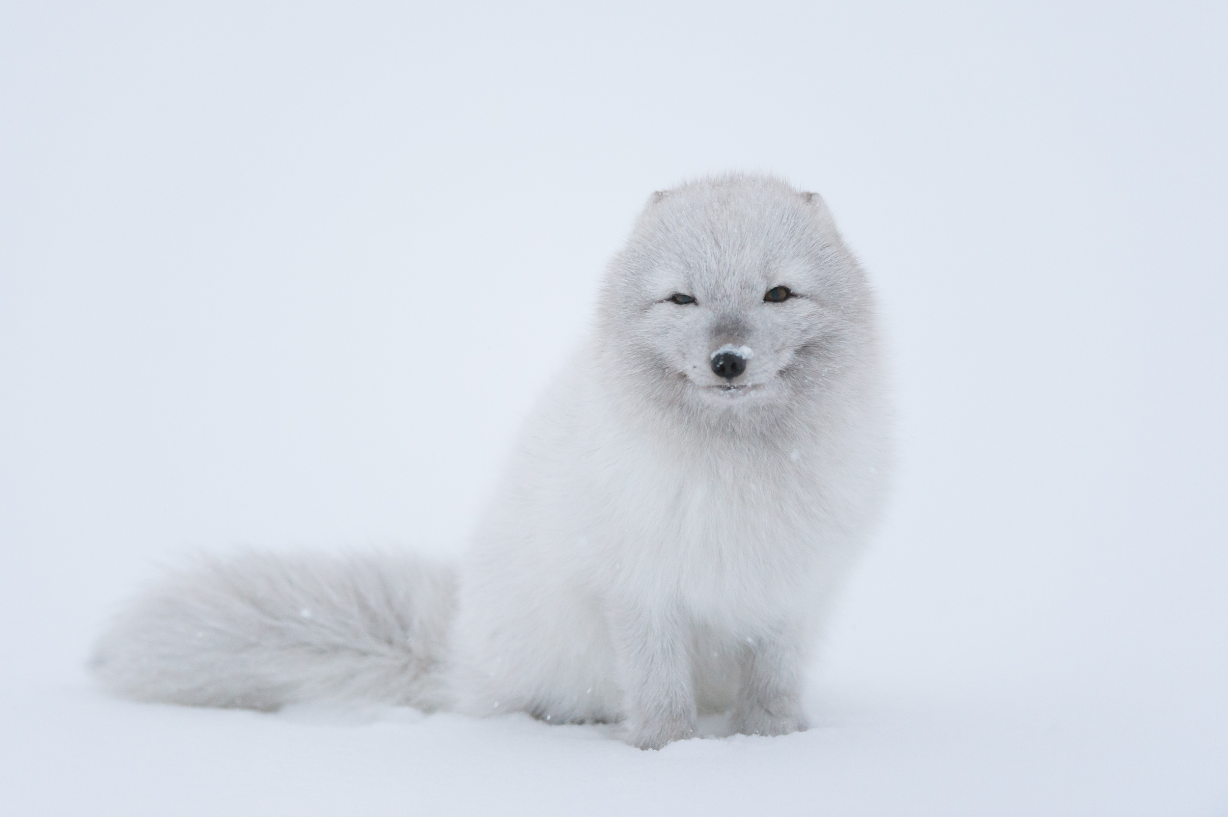 arctic fox pictures diet breeding life cycle facts habitat