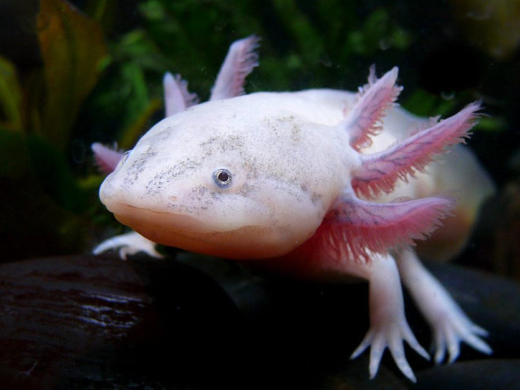 Axolotl - Pictures, Diet, Breeding, Life Cycle, Facts, Habitat ...