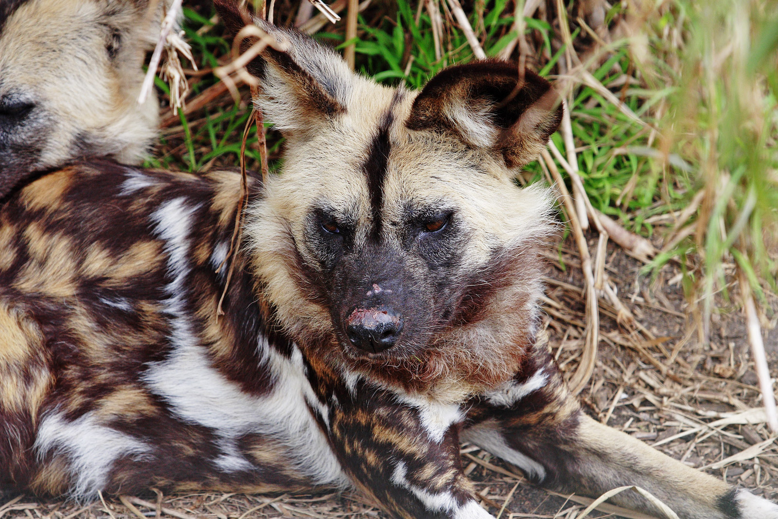 African Wild Dog on Animals And Their Habitats