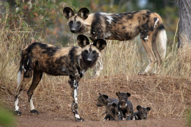 African Wild Dog Breed