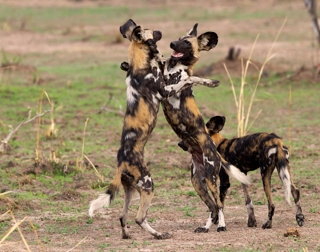What Do African Wild Dogs Eat