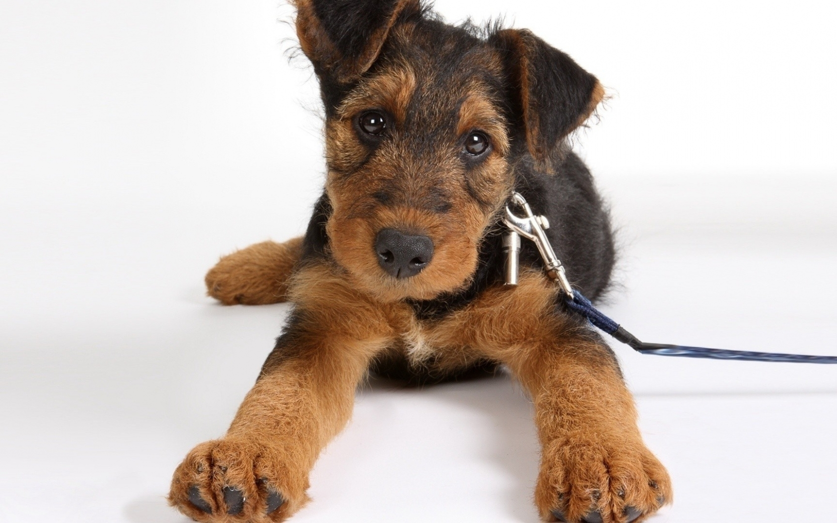 Airedale Terrier Pictures Diet Breeding Life Cycle