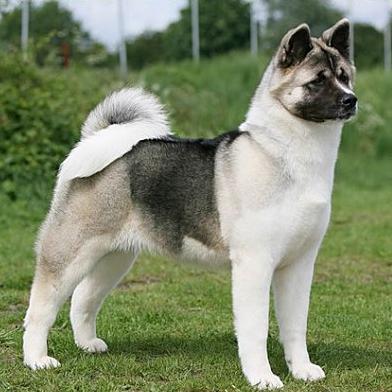 How Big Do Akita Dogs Get