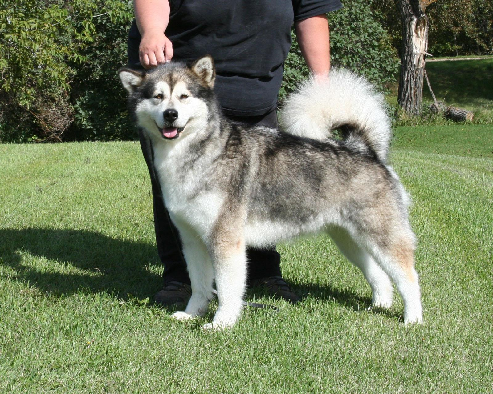 Alaskan Malamute Pictures Puppies