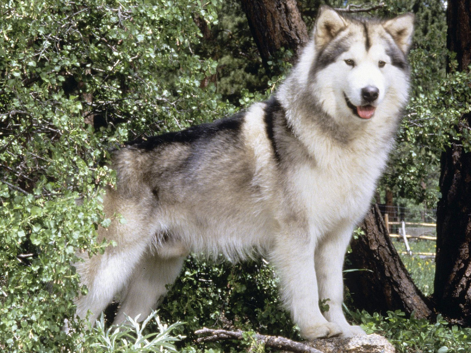 Alaskan Malamute - Pictures, Puppies, Diet, Breeding ...