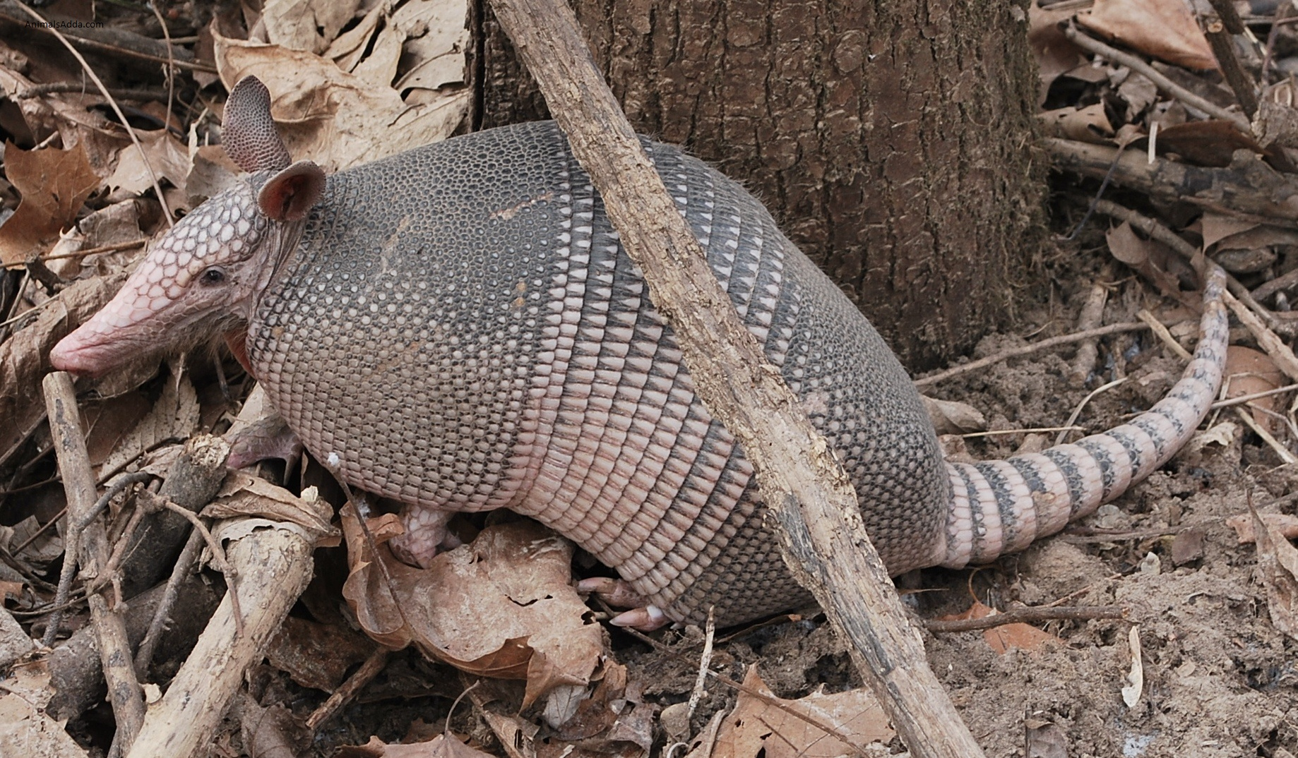 an overview of the armadillo in the animal kingdom