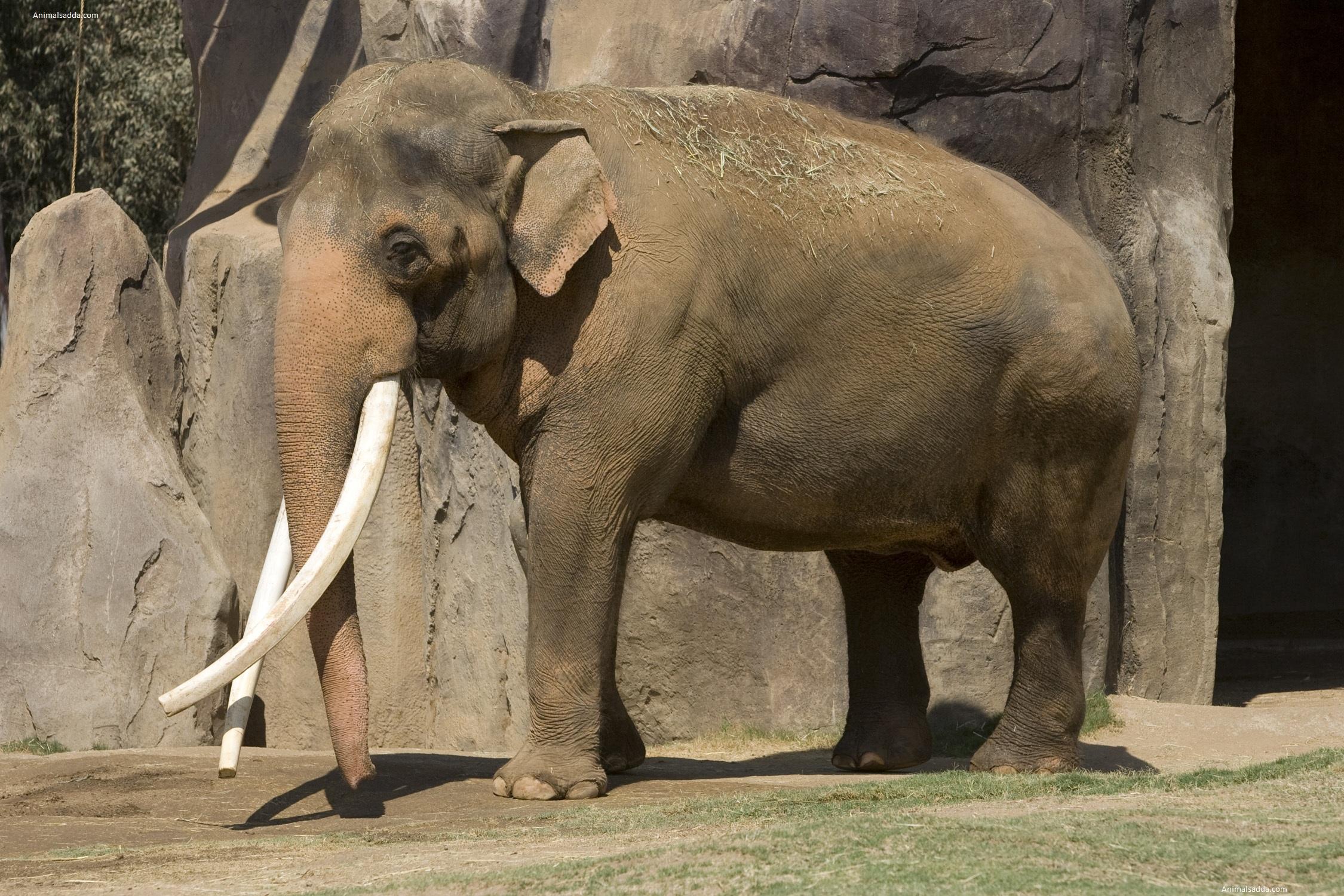 Asian Elephant - Pictu...