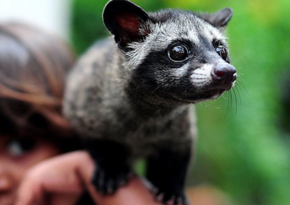 ... Asian Palm Civet ...