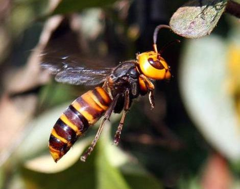 Queen Wasp Size Asian Giant Hornet - P...