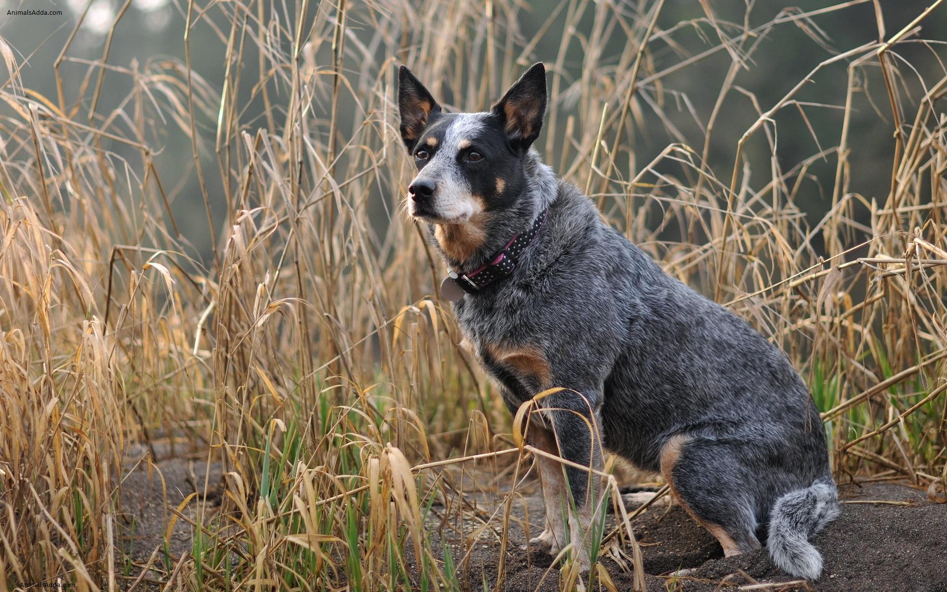 Australian Cattle Dog Blue Heeler White And Black