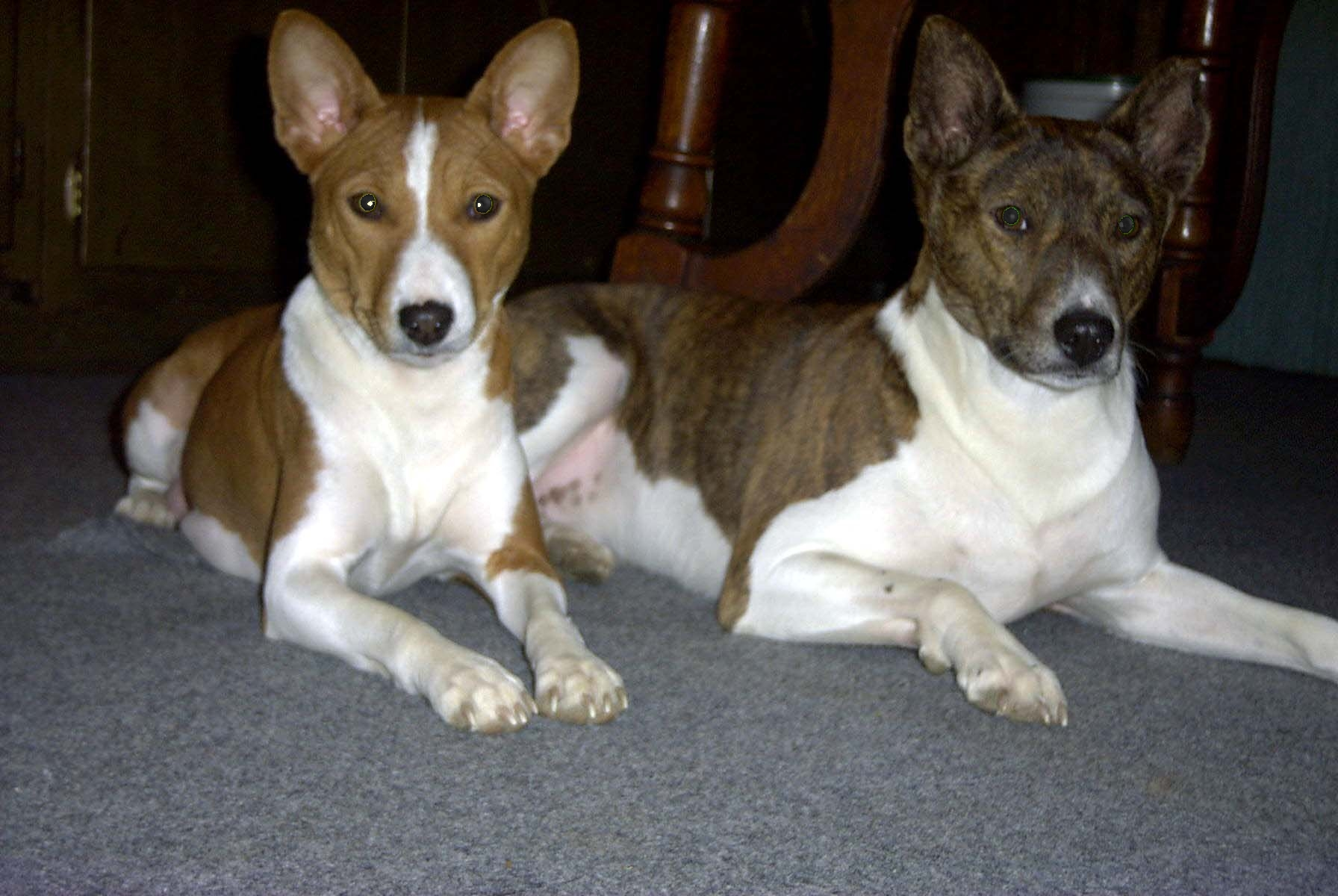 100 Do Basenji Dogs Shed 100