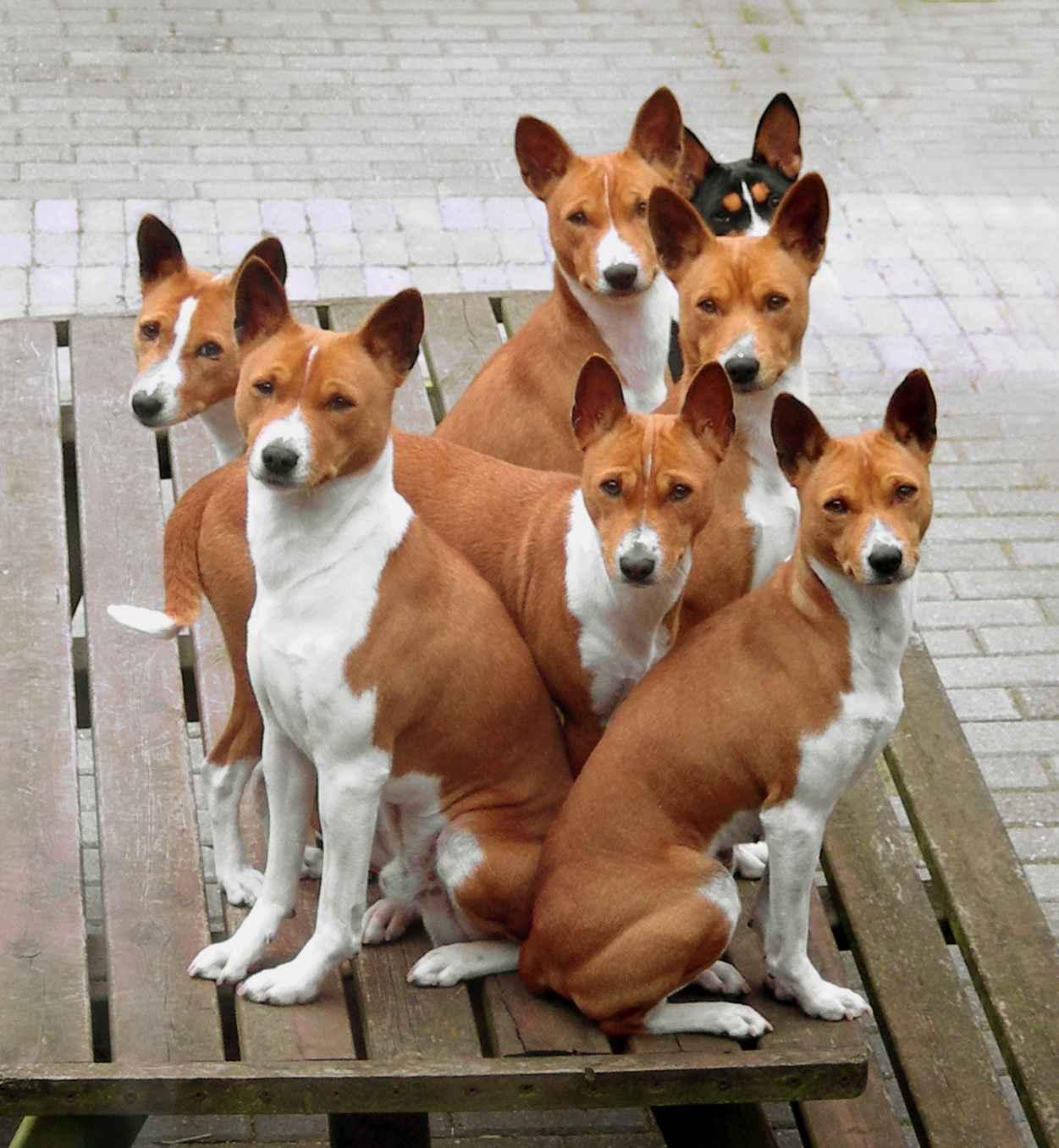 Basenji Dog - Pictures, Diet, Breeding, Life Cycle, Facts ...