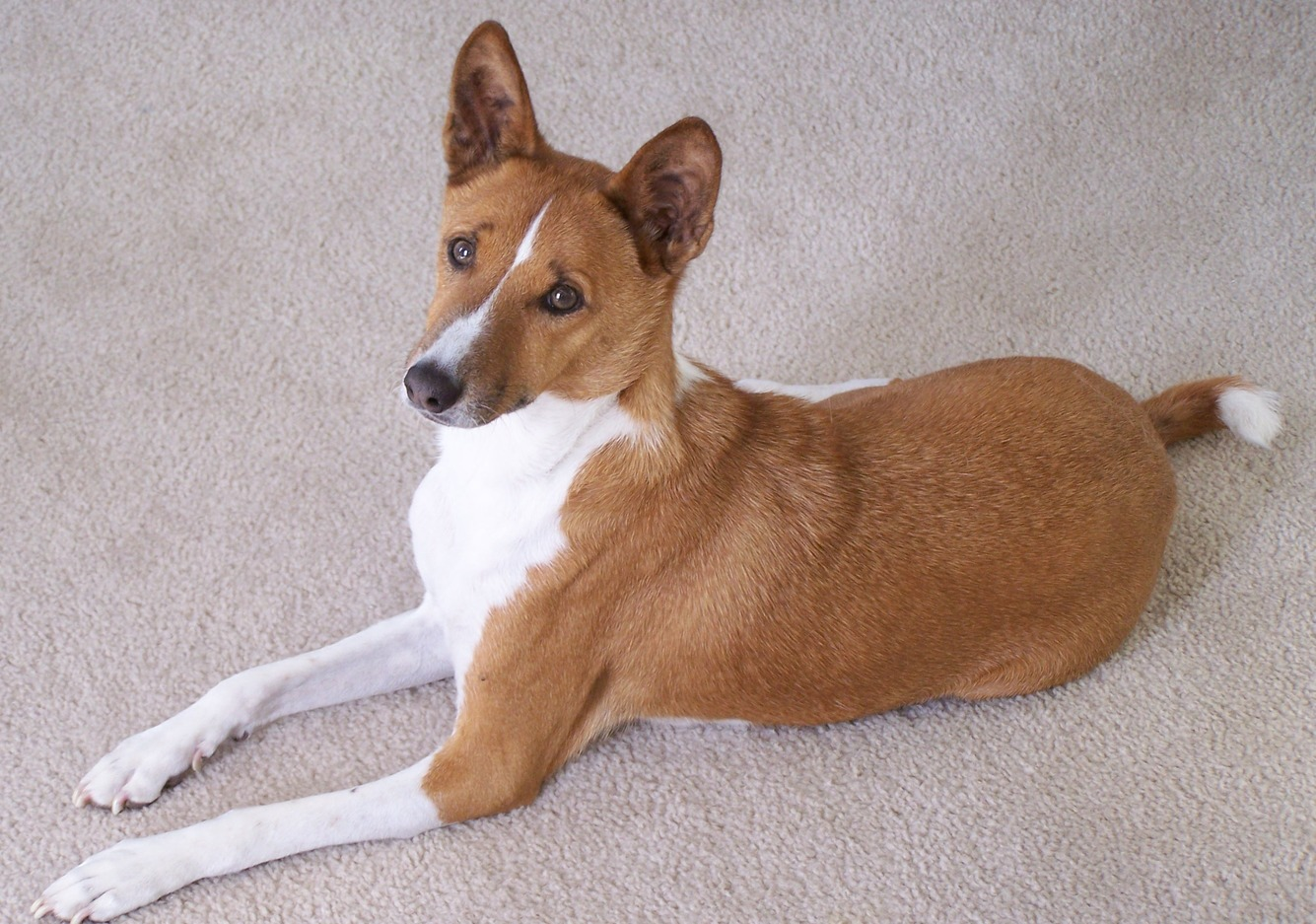 Basenji Dog Pictures Diet Breeding Life Cycle Facts