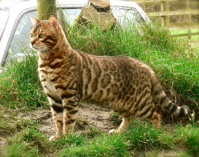 Bengal Cat Facts Pictures Information Rescue