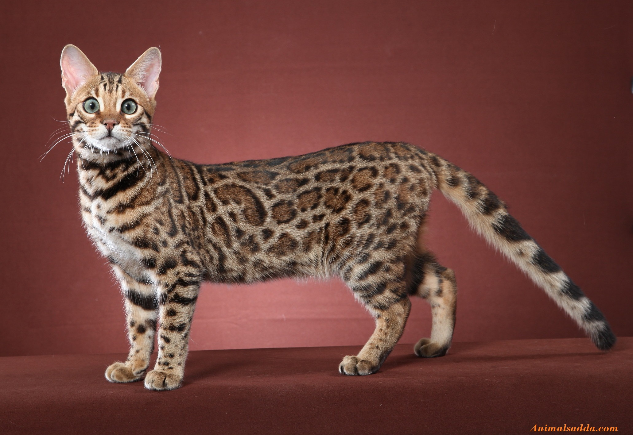 Bengal Cat Facts Information Rescue Temperament