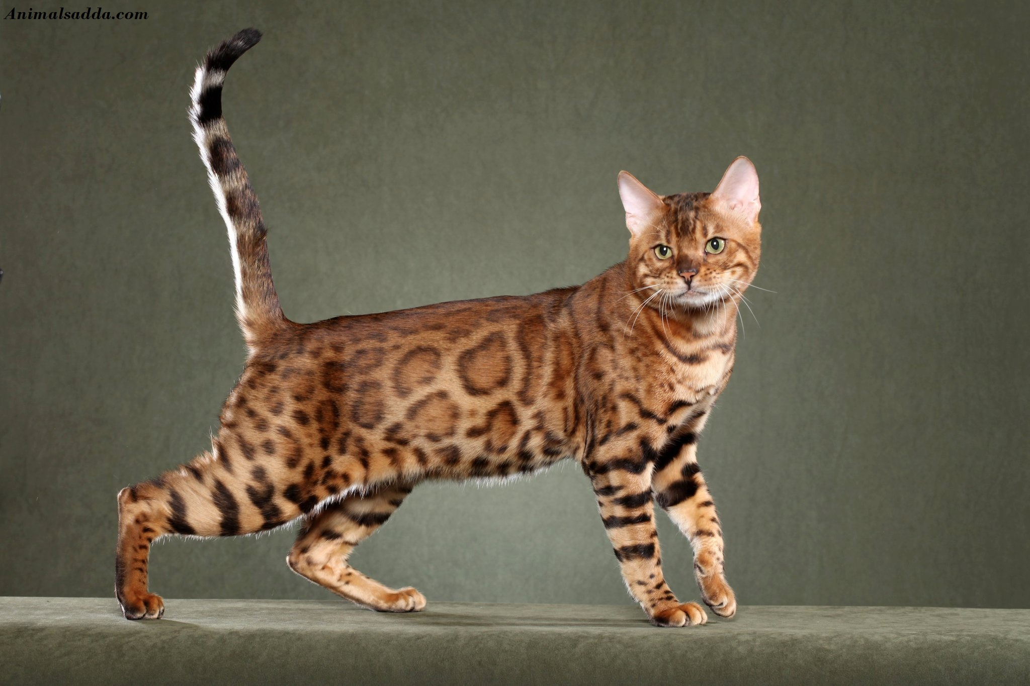 Bengal Cat - Facts, Pictures, Information, Rescue, Temperament ...