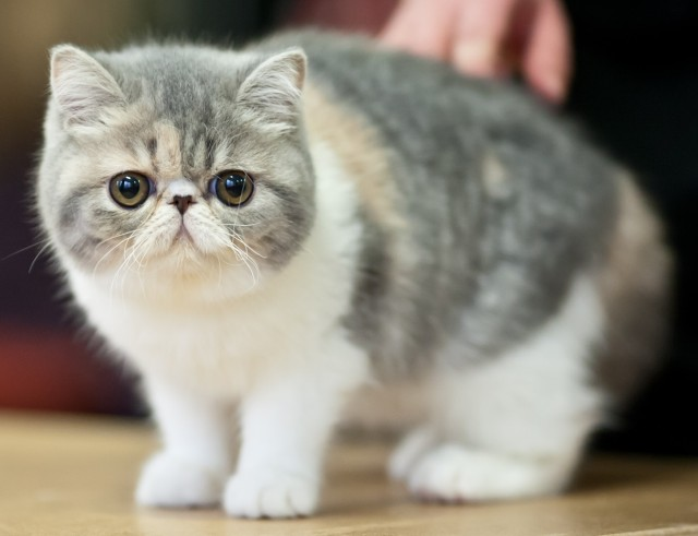 Exotic Shorthair Cat Kittens Facts Personality