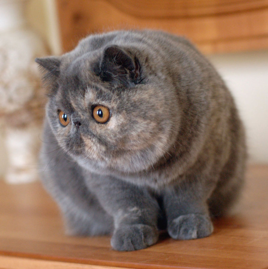 Exotic Shorthair - Cat, Kittens, Facts, Personality ... Exotic Shorthair Tabby