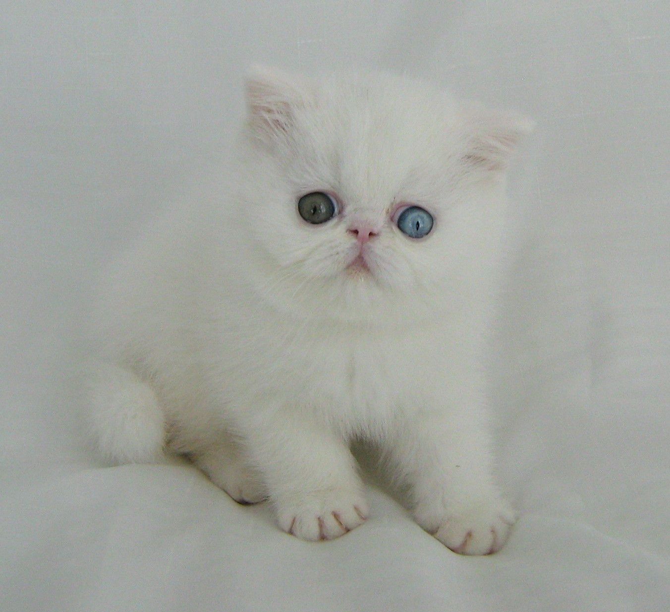Exotic Shorthair - Cat, Kittens, Facts, Personality