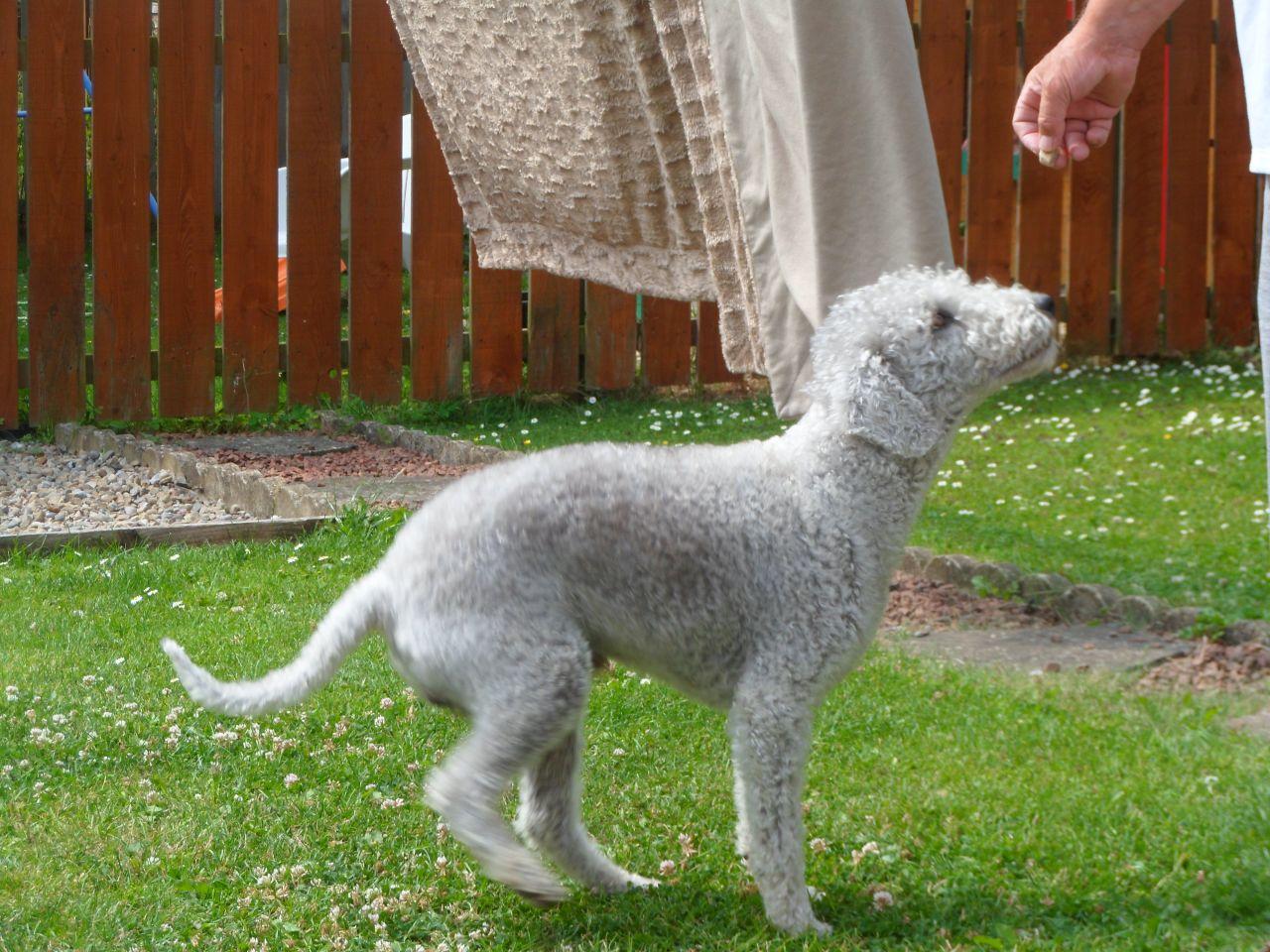 Description breed bedlington terrier. Bedlington Terrier: nature, features, photos 87