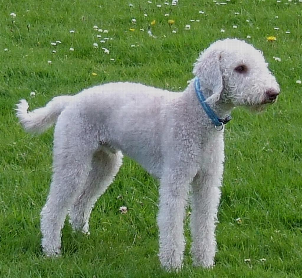 Bedlington Terriers Rescue Dogs