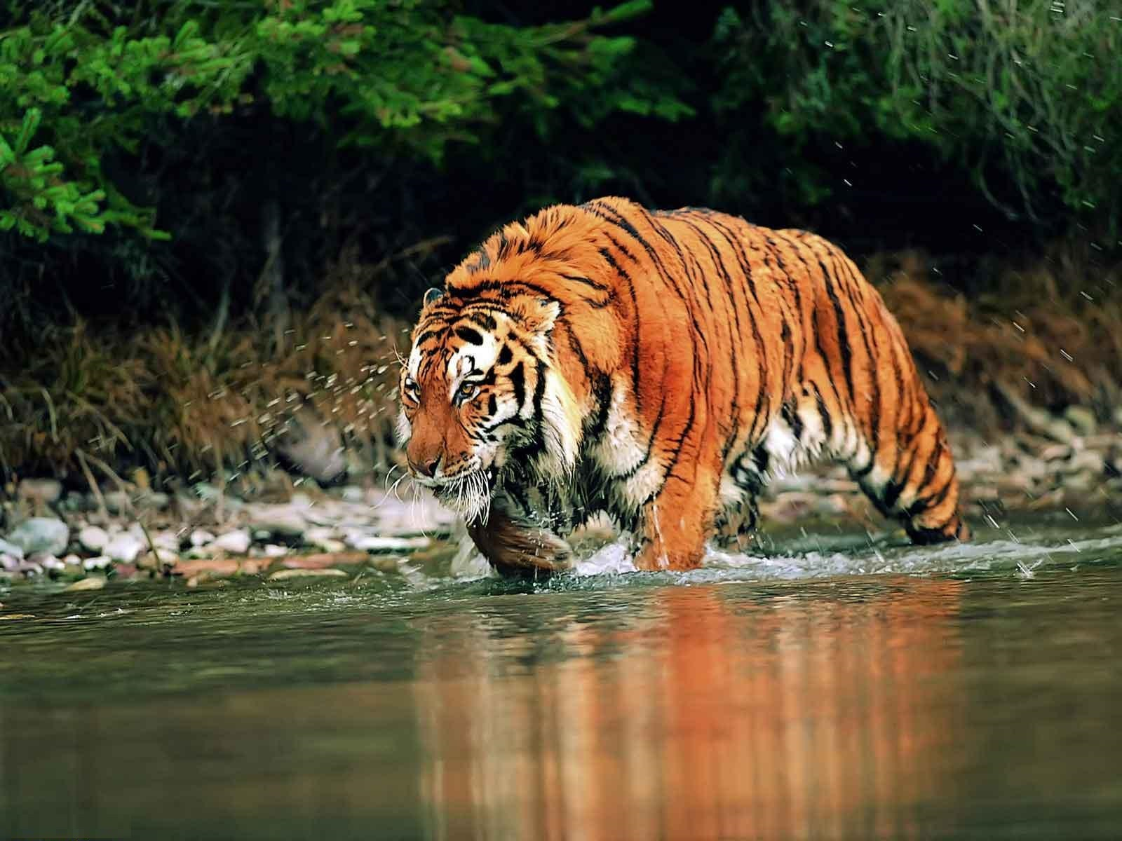 bengal tiger - facts, pictures, habitat, information, diet