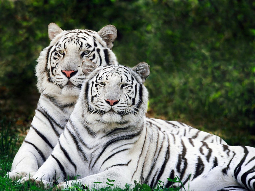 Image result for bengali tigers