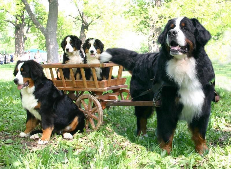 Bernese Mountain Dog Pictures Lifespan Rescue Temperament