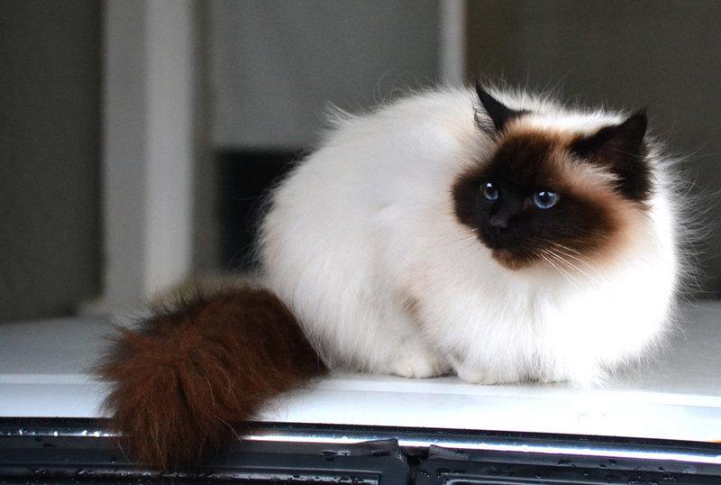White Cat Black Colors Point