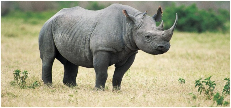Black Rhinoceros on human time span