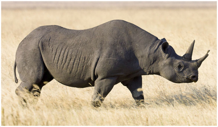 an introduction to the issue of rhinoceros endangerment The endangered species act - the endangered species act introduction: long endangered species - endangerment is a broad issue or the rhinoceros.