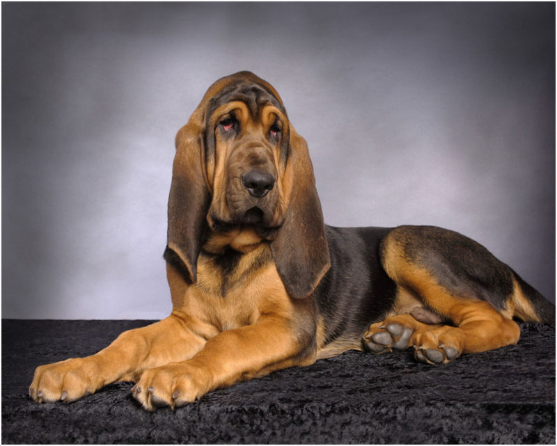 Bloodhound Facts Pictures Puppies Breeders