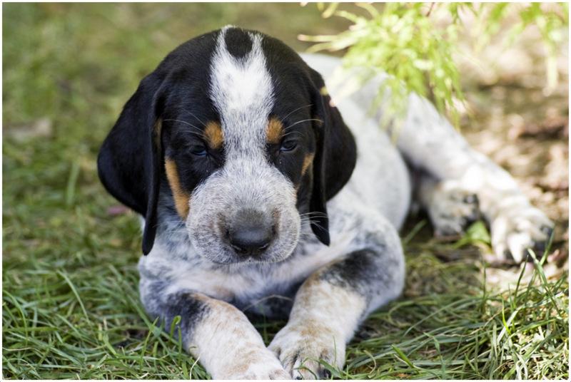 Bluetick Coonhound Puppies Facts Diet Pictures Behaviour