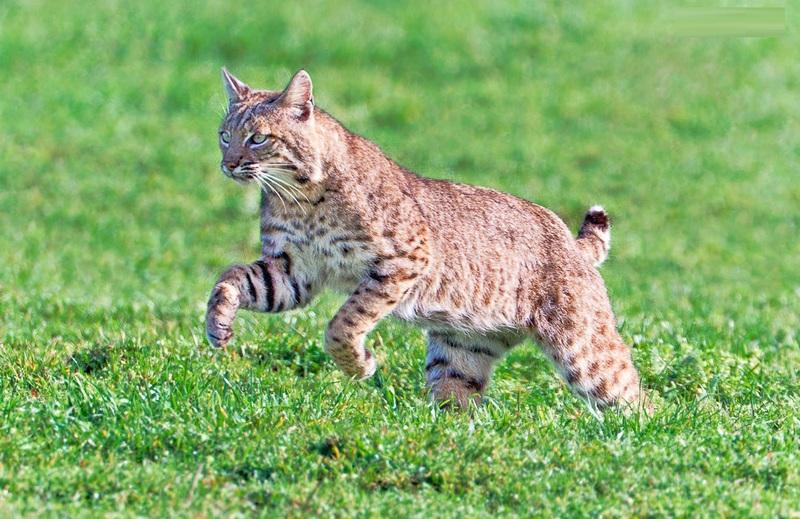 Bobcat Facts Diet Habitat Behaviour Lifecycle