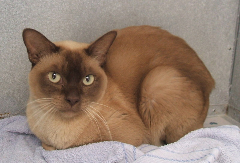 Burmese Cat Facts Diet Pictures Breeding Appearance