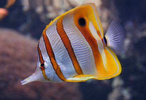 Butterfly fish facts pictures diet breeding for Information about fish