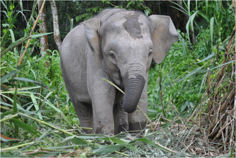 Borneo Pygmy Elephant Facts Pictures Behavior Appearance