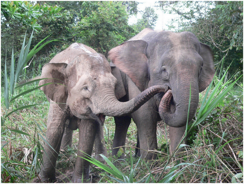 Borneo Pygmy Elephant - Facts, Pictures, Behavior, Appearance ...