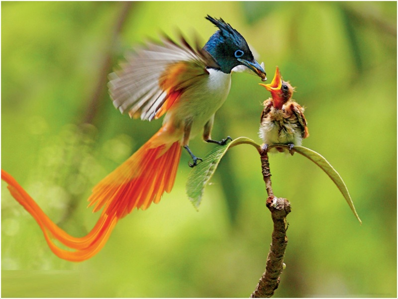 Birds Of Paradise Pictures Facts Characteristics Behavior