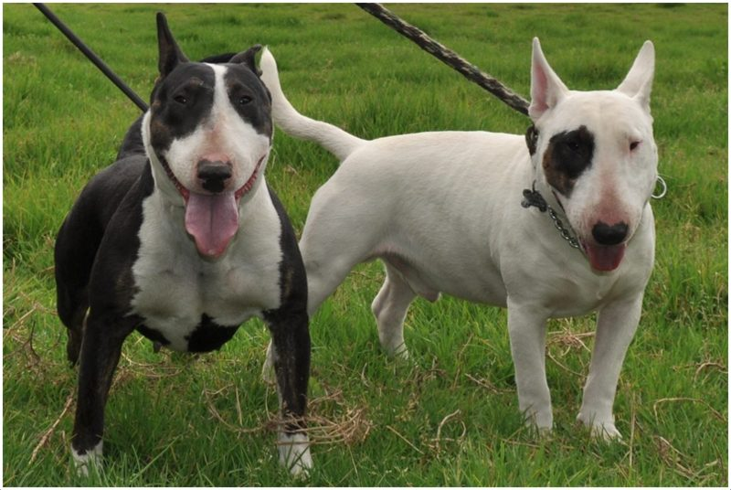 Bull Terrier Puppies Pictures Diet Breeding Facts