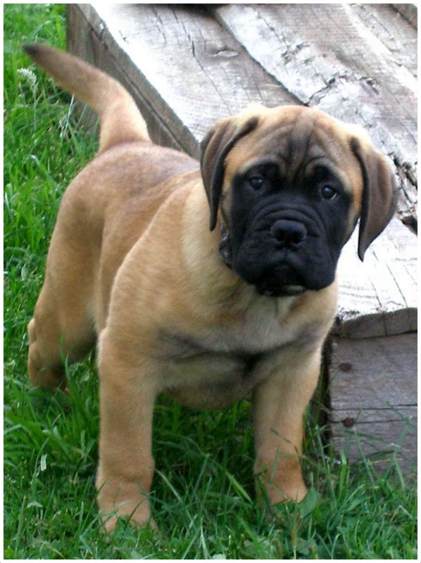 Blue Bullmastiff Puppies For Sale