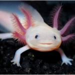 Facts About Axolotl
